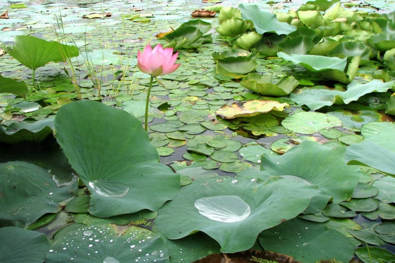 Lotus i Dal Lake, Kashmir